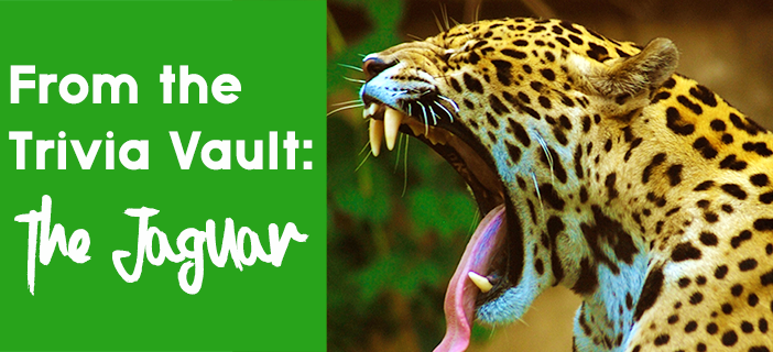Jaguar_animal