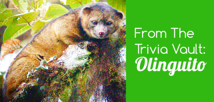 From_the_trivia_vault_Olinguito