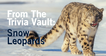 From_the_trivia_vault_snow_leopards_