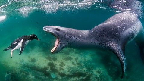 Leapord_seal_eating_penguin